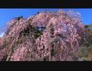 春の京都(2019/3/31)