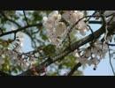 花見 六分咲き【大濠公園】