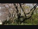 小金井公園の桜吹雪1
