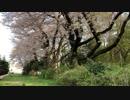 小金井公園の桜吹雪 2