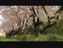小金井公園の桜吹雪 3