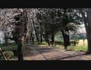 小金井公園の桜吹雪 5
