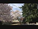 廿日市市 県天然記念物 津田の大カヤをたづねて 桜満開の境内