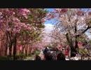 大阪造幣局 桜の通りぬけ 2019/4/15