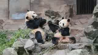 仲良しパンダ成就双好の朝ごはん@杭州動物園(2019.3.22)