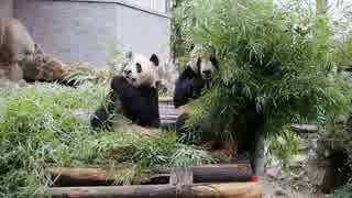 仲良しパンダ成就双好 櫓に移動して朝ごはんの続き@杭州動物園(2019.3.22)