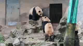 仲良しパンダ成就双好 朝ごはん後のもめもめタイム@杭州動物園(2019.3.22)