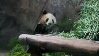 元グレーパンダの成就 室内に移動してまた食べる@杭州動物園(2019.3.22)