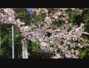 枝垂れ桜紀行(shidare sakura)〜観音しだれと天然記念物の大桜