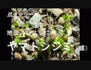 昆虫シリーズ 地面スレスレに飛ぶヤマトシジミ(蝶)