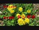 野花を求めて 春を謳歌 タンポポ
