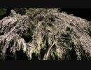 【作曲】夜桜