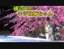 桃の花とキジ白猫~~屋根から降りてくる猫