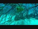 神津島ダイビング~ぷくぷくイシガキフグ&ぷりぷりアオリイカ卵~