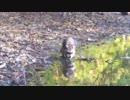 秋ヶ瀬のアライグマ