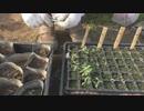 2019年3月22ー28日:【農業記録】夏野菜苗の様子とトマト苗のポット移植