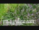 2019年3月27日:【自然農法の畑】菜花たちの開花状況と春野菜の様子