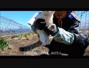 【たま農園】早く新じゃがが食べたいッ!じゃがいもの種イモを植えてみた。