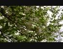 日光男体山のシロヤシオ、2109.6.14