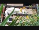 【野田草履P】いつもの廃墟の白猫ちゃんいご挨拶するのだ。。【ツイキャス】