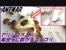 アリジゴク入り毒団子をゴキブリに与えたらホウ酸団子を超える?