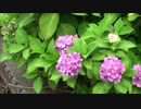 【動画素材】紫陽花 ループ 1