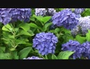 【動画素材】紫陽花 ループ 4