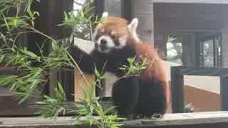 レッサーパンダの風太君(千葉市動物公園)