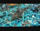 【熱帯魚】お眠なコリドラス
