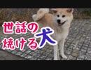 ゴーイングマイウェイな秋田犬が面白おかしい!