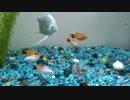 【熱帯魚】熱帯魚さん達の日常