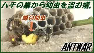 ハチの巣からハチの幼虫を強奪するアリの集団
