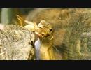 ニホンカナヘビがイエコを食いまくる!