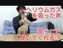【ドッキリ&検証】ヘリウムガスを吸った声で愛犬のカニンヘンダックスフンドにお手・おすわりをさせようとしてみた!