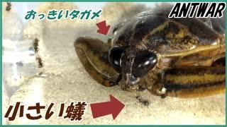 水生昆虫王者タガメと4000匹のケアリ。
