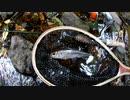#17 【川釣り】カワムツのルアー釣り【日本淡水魚】