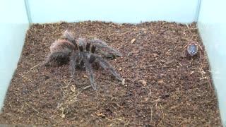 [閲覧注意!!] 再編集 タランチュラ(幼体:バードイーター)にゴキブリを与えてみた。 (Pamphobeteus antinous)