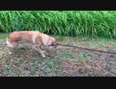 台風だから早く帰りたい飼い主VSまだまだ散歩したい犬