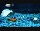 【熱帯魚】深夜のプレコさんとコリドラスさん