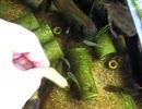 うちでザリガニ釣り thumbnail