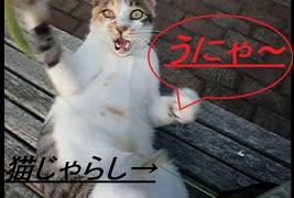 「猫じゃらし」に一心不乱のネコ
