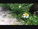 アゲハ蝶、花から花へ