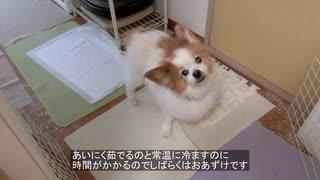 飼い主が手づくり食を作っていると台所にのぞきに来るワンコ(パピヨン)