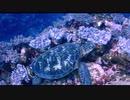 【石垣島 マンタスクランブル】サンゴと亀
