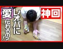 【奇跡】7年飼育しているレオパ(ヒョウモントカゲモドキ)は人間になつくのか?実験してみたらすごかった!【癒し】