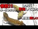 【繁殖】レオパ繁殖に挑戦!! 実践編第1回戦 クーリングなし!!【繁殖方法】