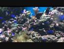 癒しの水族館動画5 熱帯魚の水槽 ドリーがいたの声はあったが以前いたはずのニモが見えなかった件