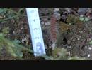 体長5 cmの毛虫がもぞもぞ動いているところ