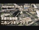 京都市動物園の熊のニホンツキノワグマ