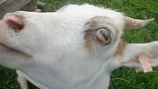 【食テロ2】キャベツを、むしゃむしゃ食べるヤギ